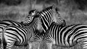Wildbook 之野性的呼唤:GPU 助力濒危动物物种追踪