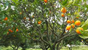 这家以色列初创公司用自主机器对抗柑橘病害
