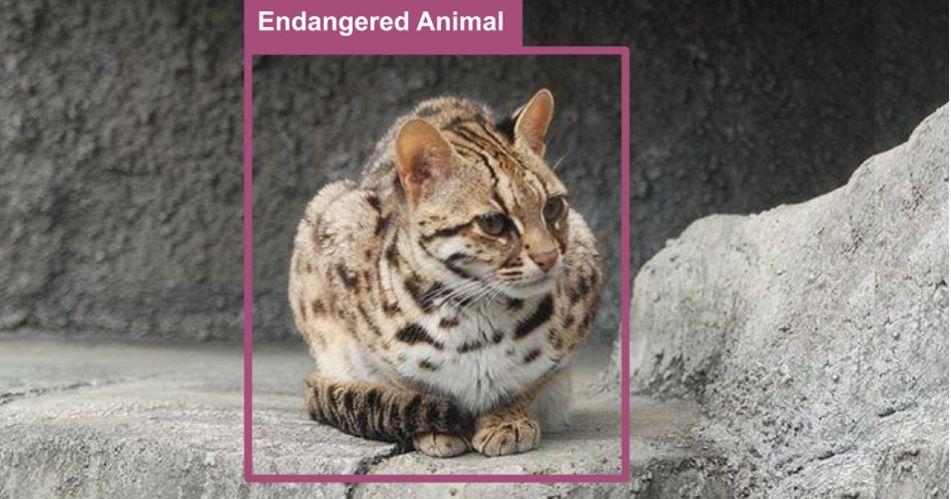 人工智能帮助保护濒临灭绝的豹猫